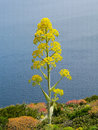 Giant fennell ferula communis l flowering plant on the mediterranean sea coast Stock Photo