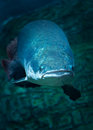 Giant fish at moscow oceanarium amazing russia Royalty Free Stock Images