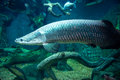 Giant fish at moscow oceanarium amazing russia Stock Photos