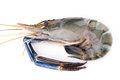 Giant freshwater prawn fresh shrimp isolate on white background Stock Photography