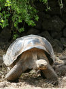 Giant Galapagos Tortoise Royalty Free Stock Photography