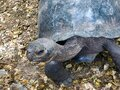 Giant Galapagos tortoise close up, featuring head and shell. Royalty Free Stock Photo