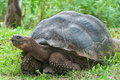 Giant Galapagos tortoise. Royalty Free Stock Photo