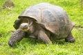 Giant Galapagos turtle, Ecuador, South America Royalty Free Stock Photo