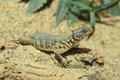 Giant girdled lizard Royalty Free Stock Photo