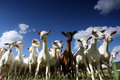 Giant goats Royalty Free Stock Images