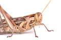 Giant grasshopper tropidacris collaris in front of white background Stock Image