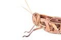 Giant grasshopper tropidacris collaris in front of white background Stock Photos