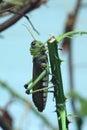 Giant grasshopper tropidacris collaris wild life animal Stock Image