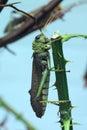 Giant grasshopper tropidacris collaris wild life animal Stock Images