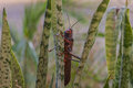 Giant grasshopper tropidacris cristata panama Stock Photo