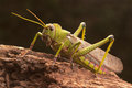 Giant grasshopper on the trunk of a tree Royalty Free Stock Images