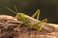 Giant grasshopper on the trunk of a tree Royalty Free Stock Image