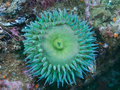 Giant green anenome shot while scuba diving on santa cruz island part of the channel islands off the coast of southern california Royalty Free Stock Photos
