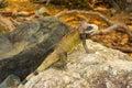 Giant green iguana on stone close-up Royalty Free Stock Photo