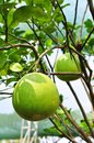 Giant green orange fruit tree in the garden Stock Image