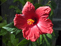 Giant hibiscus hibiscus moscheutos the large flower Stock Image
