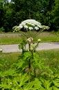 Giant hogweed Royalty Free Stock Photo