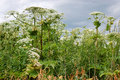 Giant hogweed heracleum mantegazzianum phototoxic plant apiaceae family Stock Photos