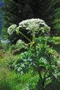 Giant Hogweed (Heracleum sphondylium) Royalty Free Stock Photo