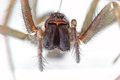 Giant House Spider Royalty Free Stock Photo