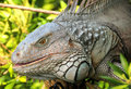 Giant iguana Royalty Free Stock Image