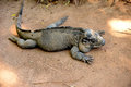 Giant iguana lying on a bed of sand Royalty Free Stock Images