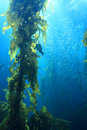 Giant kelp Stock Image