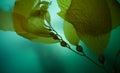 Giant Kelp 2 Royalty Free Stock Photo