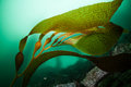 Giant kelp macrocystis pyrifera grows along the edge of monterey bay in northern california this perennial species of brown algae Royalty Free Stock Photos