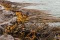 Giant kelp in sea waving Stock Photos