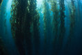 Giant kelp and shadows macrocystis pyrifera grows in a thick healthy forest off the channel islands of california provides Royalty Free Stock Images