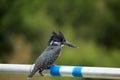Giant Kingfisher Royalty Free Stock Photo