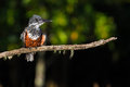 Giant Kingfisher on branch South Africa Royalty Free Stock Photo