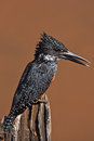 Giant kingfisher male megaceryle maximus Royalty Free Stock Photos