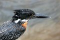 Giant kingfisher megaceryle maxima in kruger national park south africa Stock Photo
