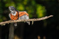 Giant Kingfisher pruning feathers on Branch South Africa Royalty Free Stock Photo