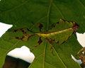 Giant Leaf Insect, Phyllium Giganteum juvenil Royalty Free Stock Photo