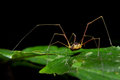 Giant long legged spider on green leaf Stock Photos
