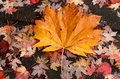 Giant maple lef cover the rest of fallen foliage Royalty Free Stock Photo