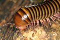 Giant Millipede Royalty Free Stock Photo