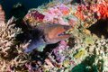 Giant Moray Eel with Cleaner Wrasse on a reef Royalty Free Stock Photo