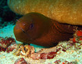 Giant moray eel kakaban indonesia Stock Images