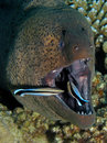 Giant Moray - Gymnothorax javanicus being cleaned Stock Image
