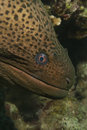 Giant moray gymnothorax javanicus with cleaning wrasse taken at ras mohammed in sharm el sheikh Stock Photo
