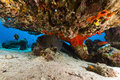 Giant moray under a table coral in the Red Sea. Royalty Free Stock Photo