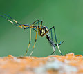 Giant mosquito nature background