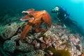 Giant octopus dofleini and diver Royalty Free Stock Photo