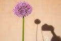Giant onion flower Royalty Free Stock Photo