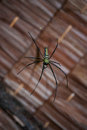 Giant Orb Weaver  Spider and Web Royalty Free Stock Photo